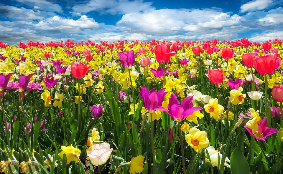 Veld met tulpen