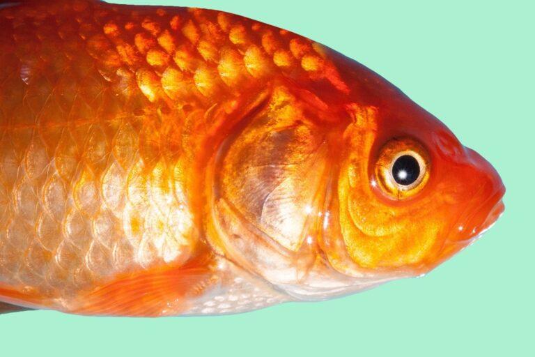 De mythe van de goudvis en de aandachtsspanne